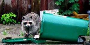 raccoon in recycling